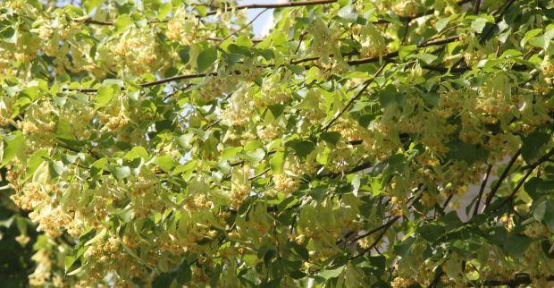Kocaeli'yi ıhlamur ağaçlarının kokusu bürüdü