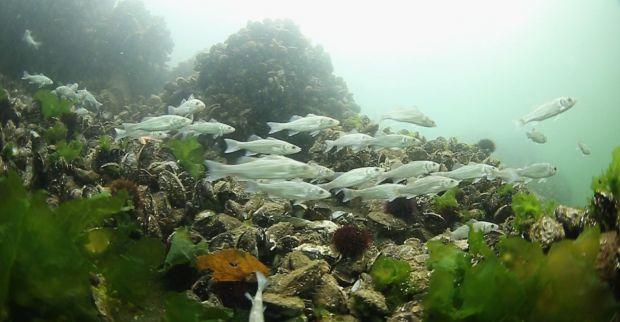 Körfez doğal akvaryum oluyor